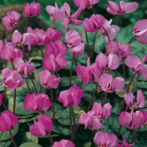 Cyclamen Coum Bulbs Pink Flower 2 Per Pack