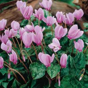 Cyclamen Hederifolium Bulbs Pink Flower 2 Per Pack