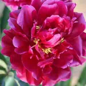 Peony (Paeonia) Suffruticosa Chinese Tree Peony Yan Zi Xiang Yang 6 Litre Pot