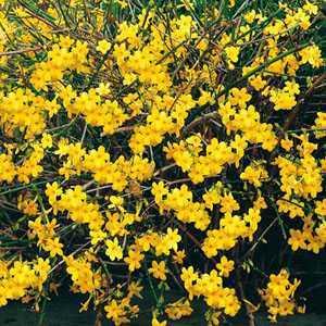 Jasminum Nudiflorum (Winter Flowering)