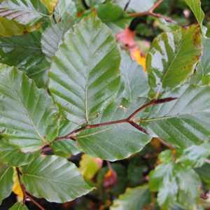 Beech (Green) Hedging Fagus Sylvatica 80 -100cm 3ltr
