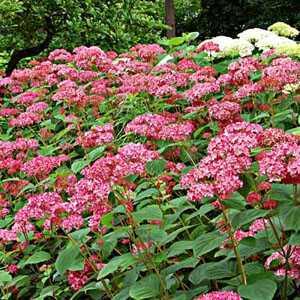 Hydrangea Arborescens Invincibelle 40-50cm