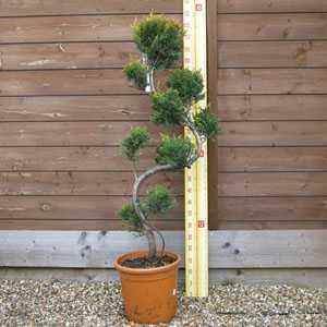 Cupressocyparis Leylandii (Cloud Tree) 10 Litre Pot