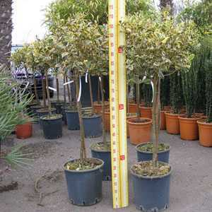 Ilex aquifolium Argentea Variegata (Silver Variegated English Holly) 1/4 Standard 10 Litre Pot