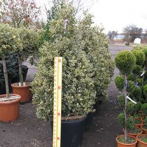 Ilex aquifolium Argentea Variegata (Silver Variegated English Holly) Cone 125-150cm Height 70-90 Ltr Pot