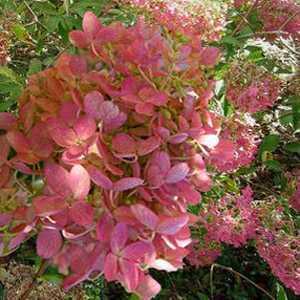 Hydrangea Paniculata Mega Mindy