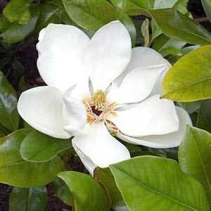 Magnolia Grand Gallisoniensis