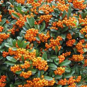 Pyracantha Orange Charmer (Firethorn) Hedging Plant 3 Ltr