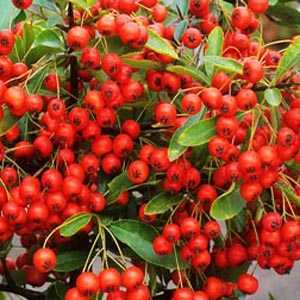 Pyracantha Darts Red (Firethorn) Hedging Plant 3 Ltr
