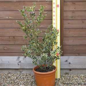 Ilex aquifolium Argentea Variegata (Silver Variegated English Holly) Bush 12 Litre Pot