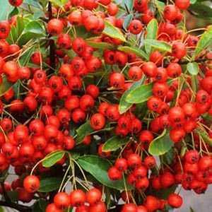 Pyracantha Darts Red Trellis Climber (Firethorn) Hedging Plant 20 Ltr