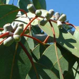 Eucalyptus Glaucescens (Tingiringi Gum) 3 Ltr 90cm cane