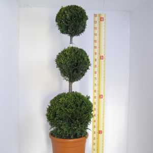 Cupressocyparis Leylandii Castlewellan Gold (Triple Ball Conifer) 110cm 12 Litre Pot