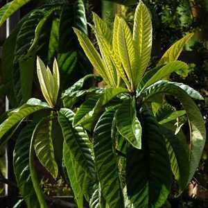 Eriobotrya Japonica (Loquat) Japanese Plum 30 Litre