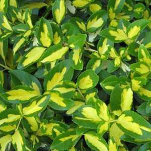 Euonymus Japonicus Aureopictus/Aureus  (Japanese Spindle)