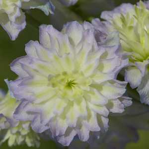 Delphinium Highlander Series Moonlight (New For 2012  Limited Stock) 3Ltr