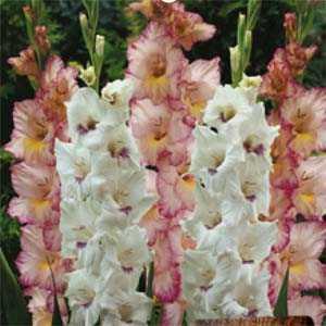 Gladioli (Gladiolus) Giant Flowering Sweet Cocktail Bulbs 25 Per Pack