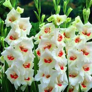 Gladioli Giant Flowering 'Ajax' Bulbs 10 Per Pack