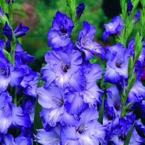 Gladioli Giant Flowering 'Blue Mountain' Bulbs 10 Per Pack