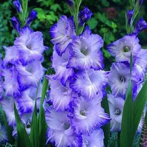 Gladioli Giant Flowering 'Lake Land' Bulbs 10 Per Pack