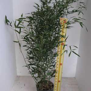 Bambusa Phyllostachys Bissetii (Green Variety)
