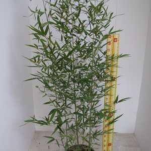 Bambusa Phyllostachys Vivax Aureocaulis (Fishpole Bamboo)150cm 12ltr