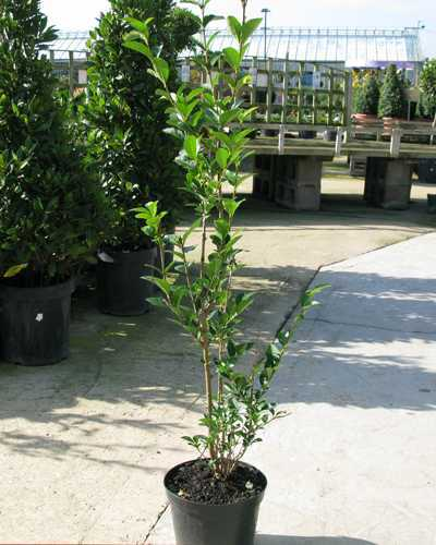 Ligustrum ovalifolium Common Green Privet 80-100cm Hedging Plant 3Ltr Pot - Pack of 10