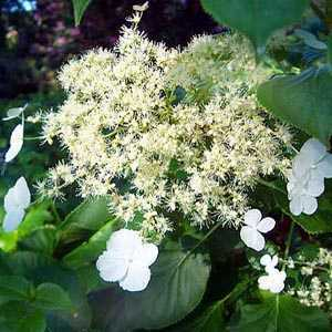 Hydrangea Anomala Petiolaris (Climbing Hydrangea) Trellis Climber 20ltr