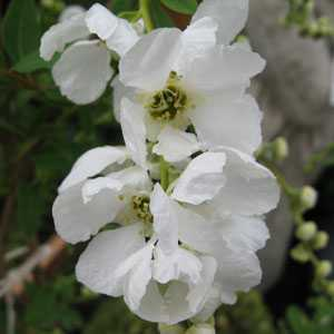 Exochorda Macrantha 'The Bride' Trellis Climber 20 Litre Pot