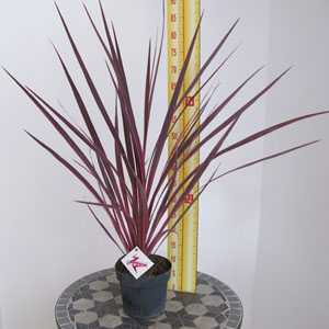Cordyline Electric Pink (Cabbage Tree) 3 Litre Pot