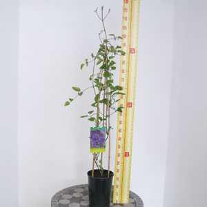 Clematis Semu (Climber)
