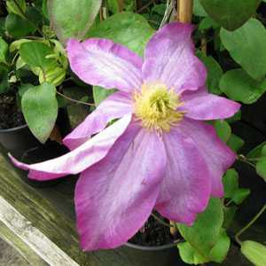 Clematis 'Pink Champagne' (Climber)