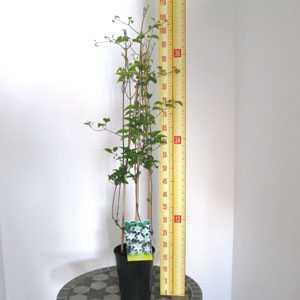 Clematis 'Yukikomachi'