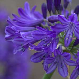 Agapanthus Northern Star Lily (Lily Of The Nile) 3 Ltr