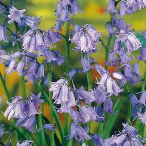 Hyacinthoides Hispanica Non-Scripta Bulbs (Blue Bells) 10 Per Pack