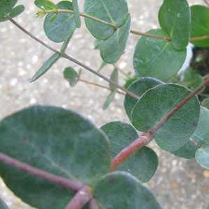 Eucalyptus Gunnii (Cider Gum) Silver Drop 1Ltr