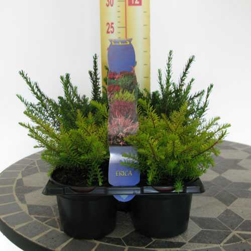 Erica Darleyensis (Heather) Tray of 6 Plants