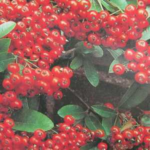 Pyracantha 'Mohave' Hedging Plant (Firethorn) 3Ltr