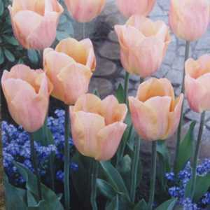 Tulip Bulbs Single Early Apricot Fox 10 Per Pack