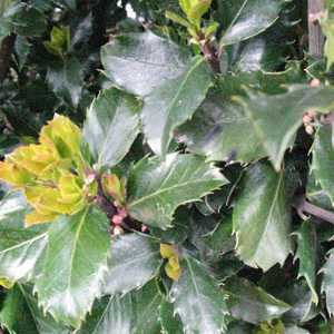 Ilex Meserveae Blue Prince (Blue Holly) Rootball Hedging 80-100cm Height