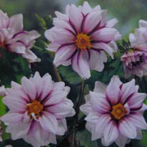 Dahlia Border Edge of Joy Bulb 1 Per Pack
