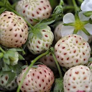 Strawberry White - Pineberry Bulb/Tuber 2 Per Pack