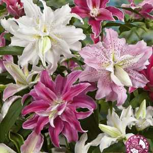 Lilium (Lily) Double Mixed Bulbs 4 Per Pack
