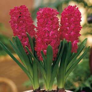 Hyacinth Prepared Bulbs Jan Bos 3 Per Pack