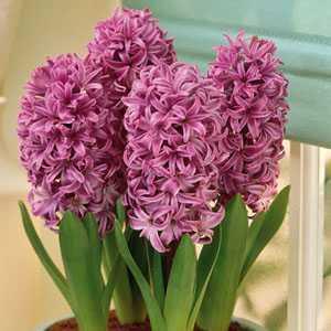 Hyacinth Prepared Bulbs Purple Sensation 3 Per Pack