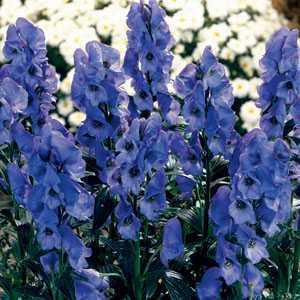 Aconitum Napelles Monkshood Pre-Packed Perennials 2 Per Pack