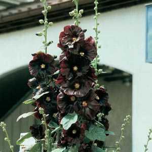 Alcea Rosea Black (Black Hollyhock) Pre-Packed Perennial 2 Per Pack