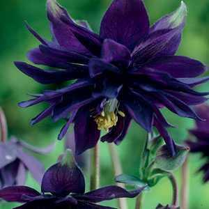 Aquilegia Barlow Black Pre-Packed Perennials 1 Per Pack