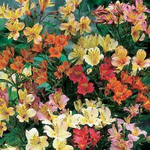 Alstroemeria Peruvian Lily Mixed Pre-Packed Perennials 3 Per Pack