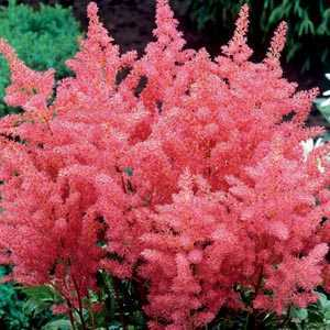 Astilbe Pink Pre-Packed Perennial 1 Per Pack